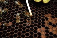 peste americana-Paenibacillus_larvae