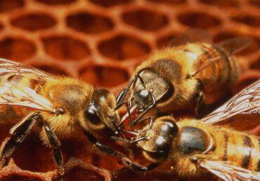 Aiuti alle imprese apistiche danneggiate dalle gelate di aprile 2021
